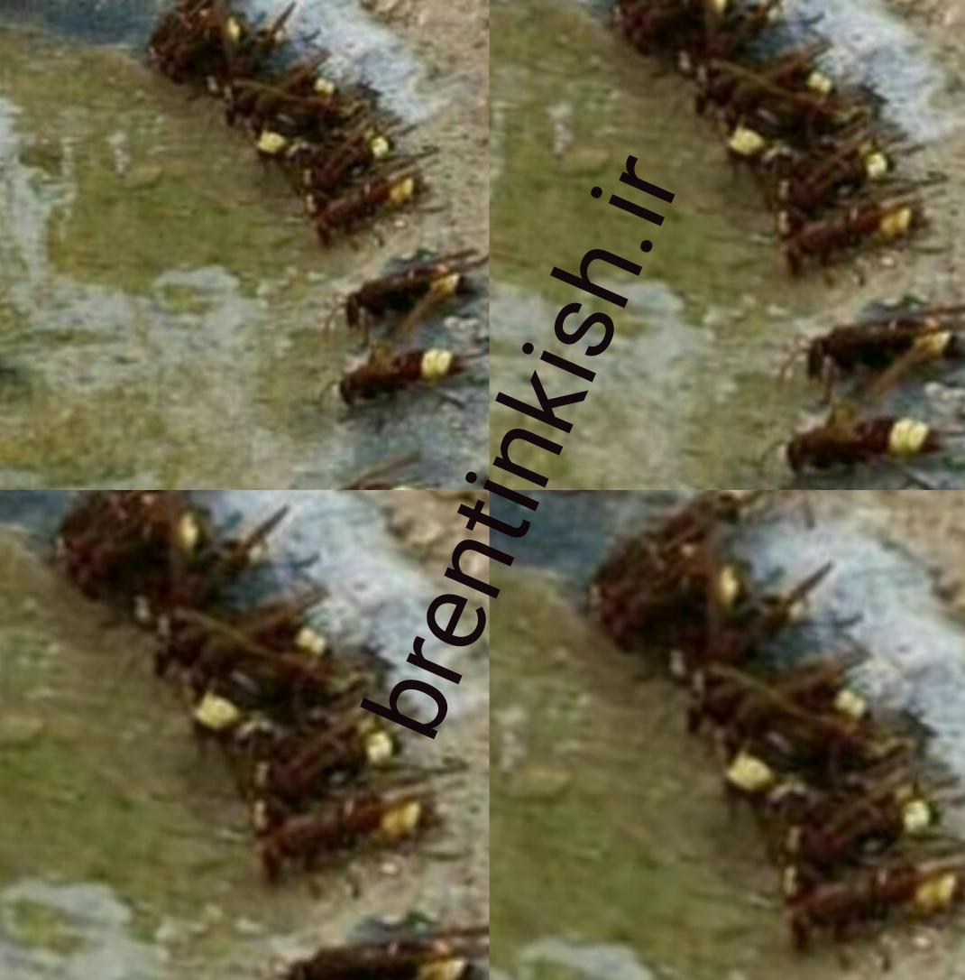 00000093   تصاویر زیبا / زنبور   / گوزوگ / گونز