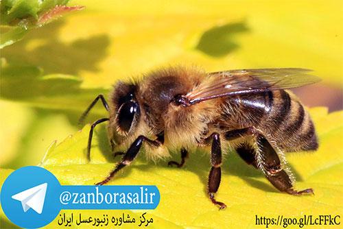 گروه تلگرام زنبورداران