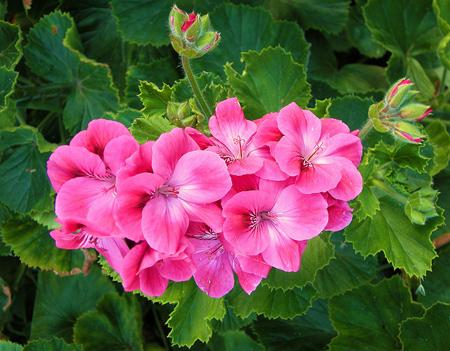 آموزش نگهداری از گل شمعدانی