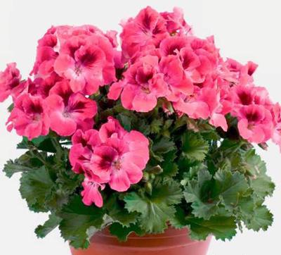 نگهداری از گل شمعدانی,نکاتی برای نگهداری از گل شمعدانی