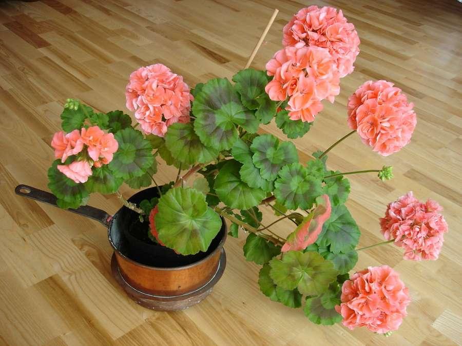 خاصیت دارویی و درمانی برگ گل شمعدانی
