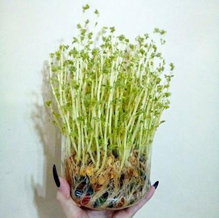 کاشت انواع سبزه,نکاتی برای کاشت سبزه