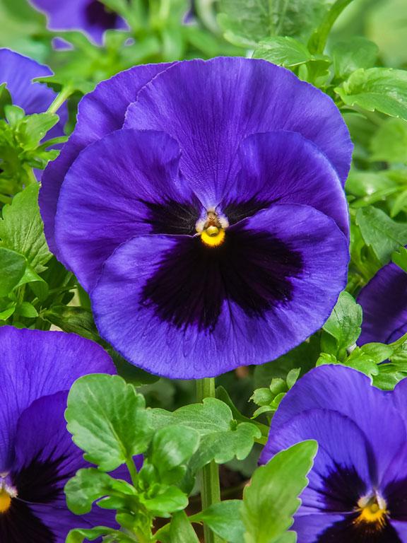 شادابی پوست با گل بنفشه