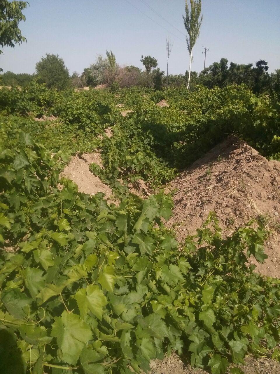 باغات انگور شيرامين