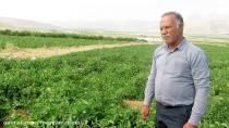 کشت گوجه فرنگی- آقای حجت الله منصوری- روستای معموره