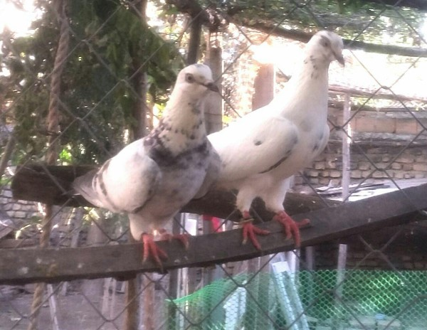 کبوتر های انگلیسی پرش بالای 12 ساعت - کد 1