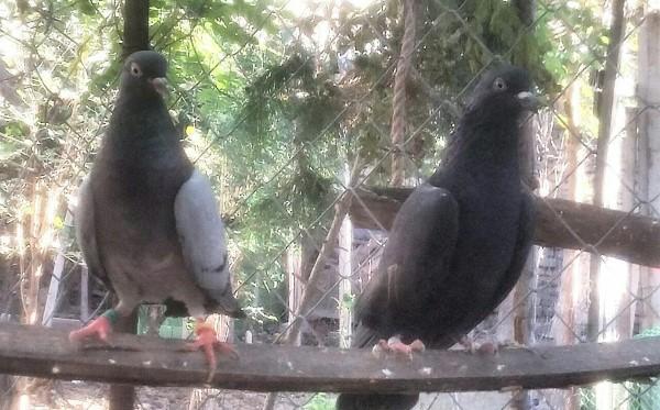 کبوتر های رستاخیز ، دهنجور پرش بالای 12 ساعت - کد 4