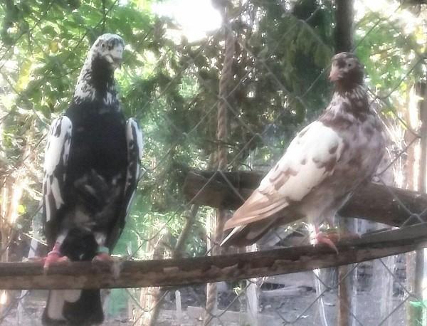 کبوتر های رستاخیز ، دهنجور پرش بالای 12 ساعت - کد 5
