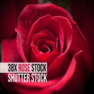 38 عکس گل رز با کیفیت بسیار بالا از شاتر استوک