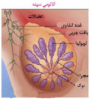 آناتومی سینه