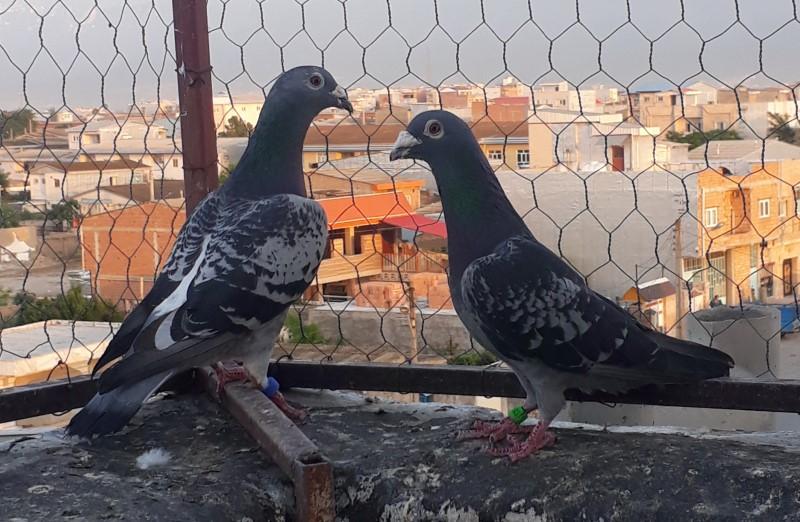 کبوتر های مسافتی با رکورد پرواز 1000 کیلومتر هوایی - کد 9