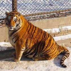 چاق ترين ببر جهان در باغ وحشي در چين