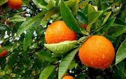 برداشت پرتقال از باغات جهرم