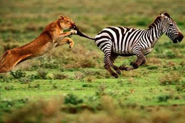 راز بقا - حیوانات جنگجو