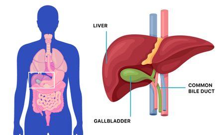 کیسه صفرا از اندام های درونی شکم