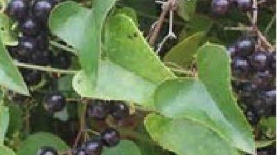 خواص و فواید گیاه عشبه بیابانی