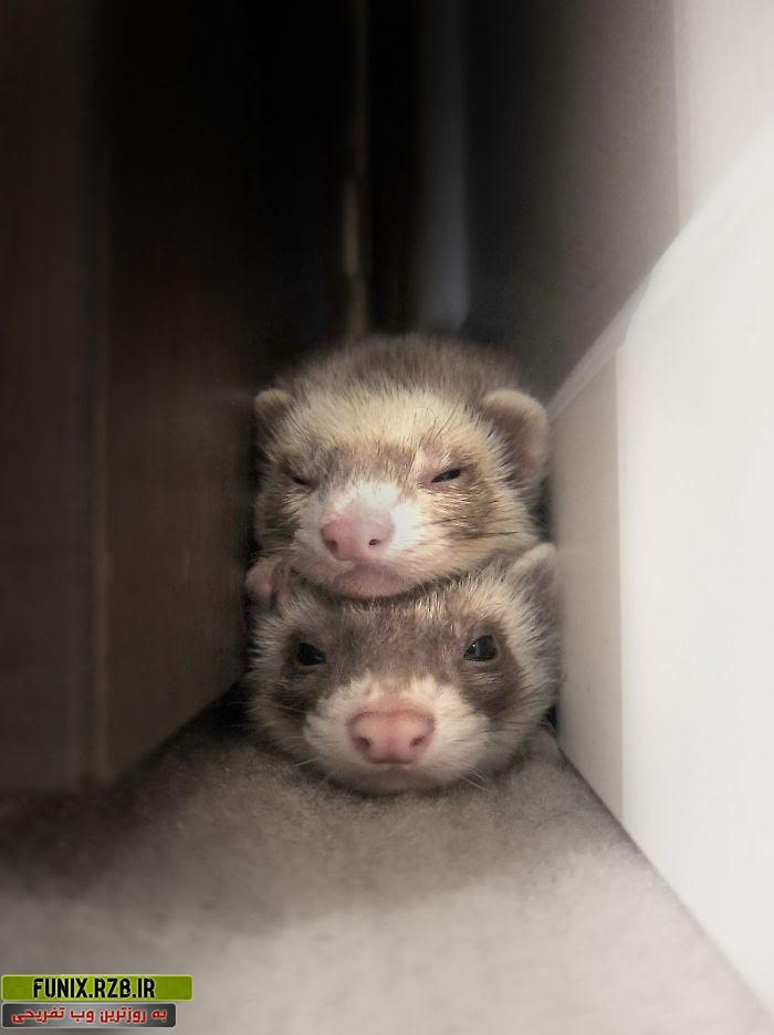 عکس های بامزه از موش خرماهای بازیگوش و باهوش