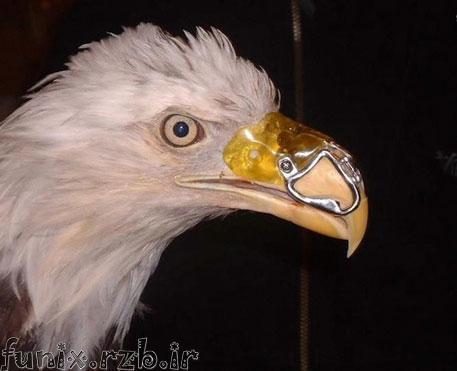 عقابی با منقار مصنوعی