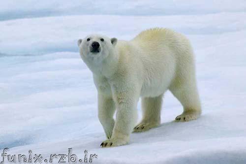 عکسهایی متفاوت از خرس قطبی در آغوش گلها